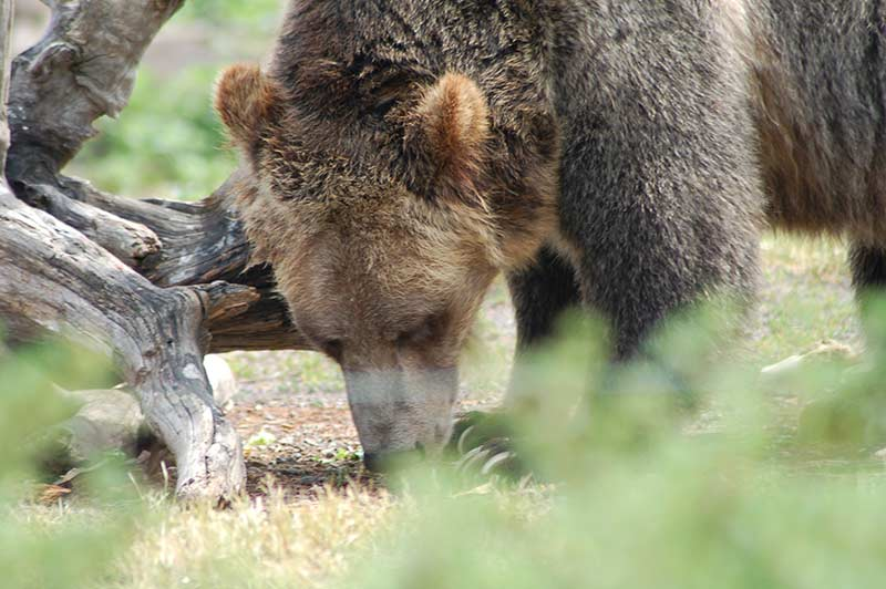 Grizzlies bear in Yellowstone while on tour to the Yellowstone