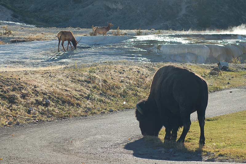 Bison while touring Yellowstone
