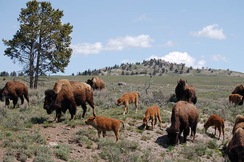 Yellowstone buffalo/bison picture