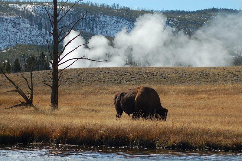Yellowstone geyser and Buffalo/bison