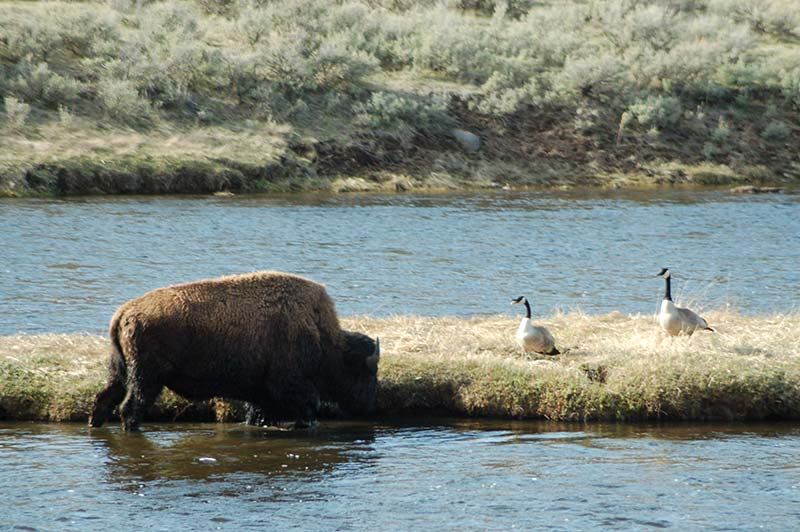 Yellowstone tour, bison in water