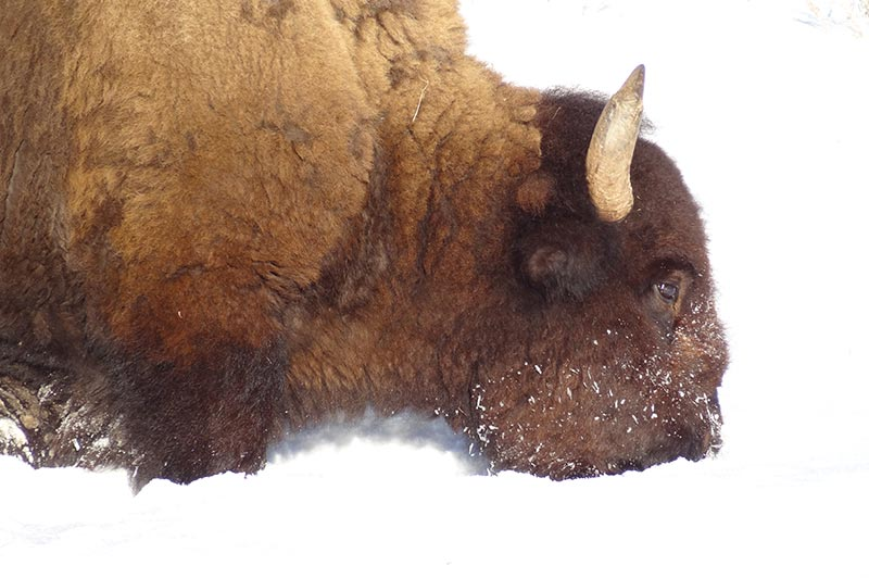 Yellowstone tour, bison in snow