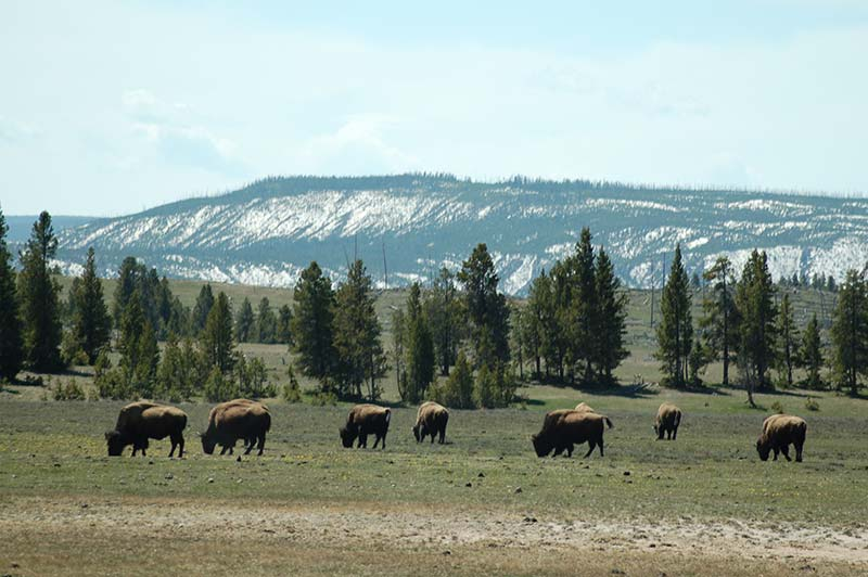 Bison photo from Yellowstone tour