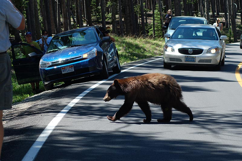 Yellowstone tour, grizzlies bear on the road