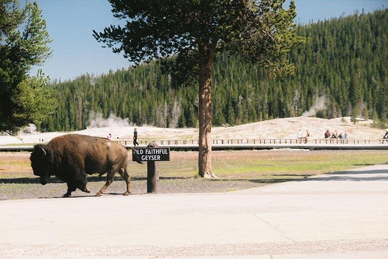 Yellowstone tour, bison/buffalo at old faithful geyser