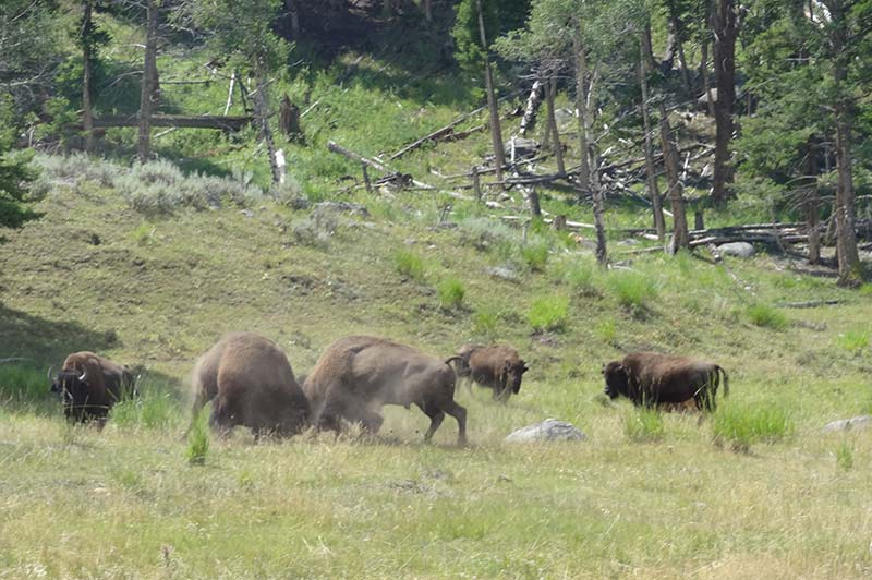 Yellowstone bison fighting
