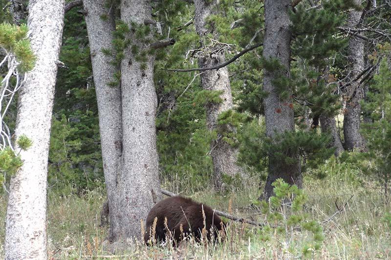 Bear in the wood in Yellowstone