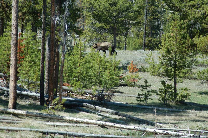 Grizzlies bear in Yellowstone