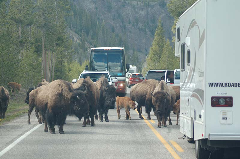 Bison image in Yellowstone