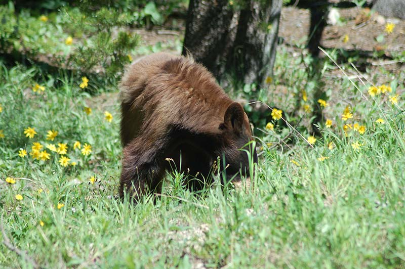 Bear in Yellowstone