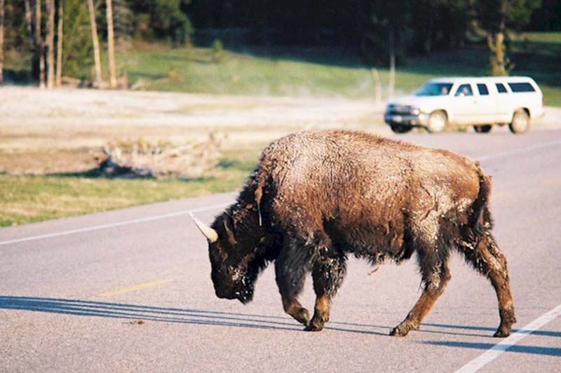 Yellowstone bison on the road