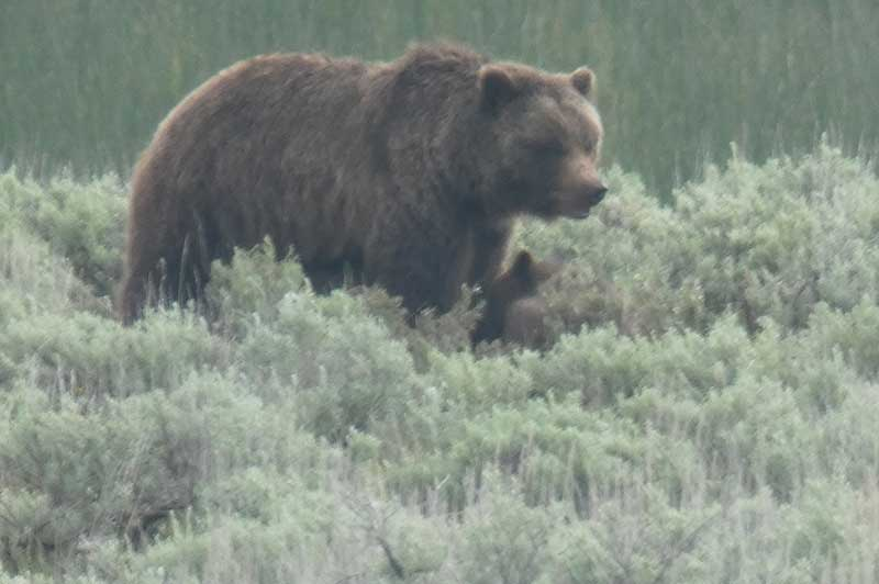 Grizzly bear walking in Yellowstone