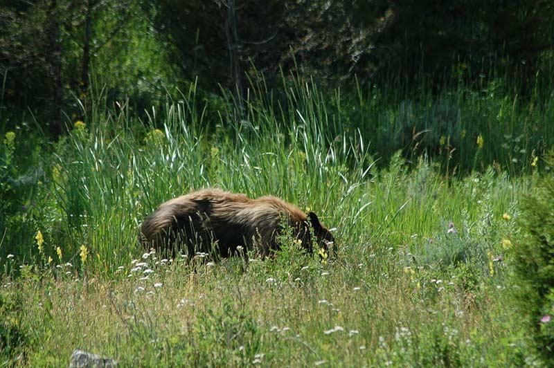 Yellowstone bear in green trees