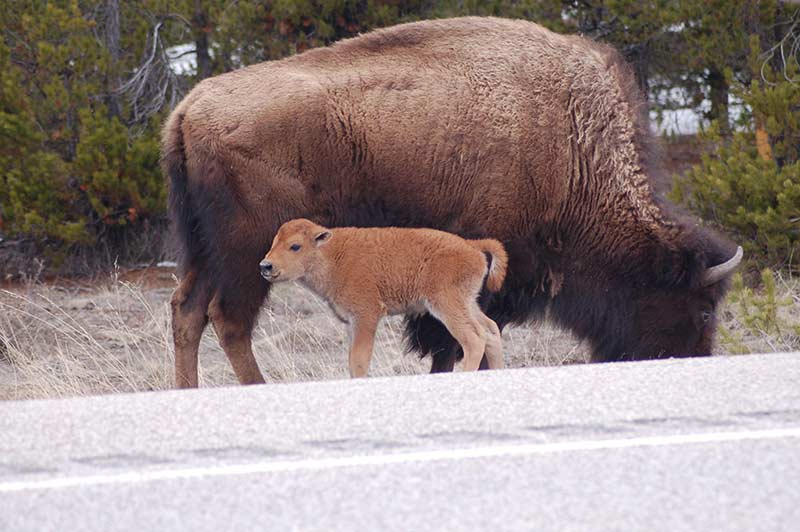 Big bison with calf in Yellowstone tour