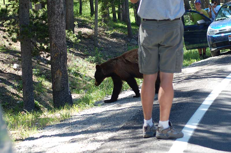 Person taking photo of bear in Yellowstone