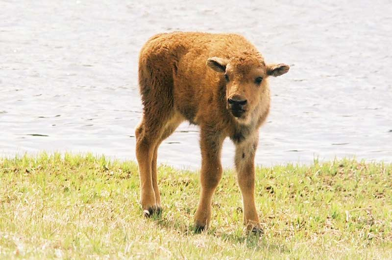 Bison calf in Yellowstone