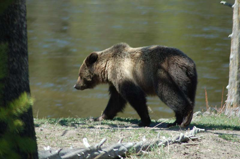 Grizzly bear near the river bank in Yellowstone