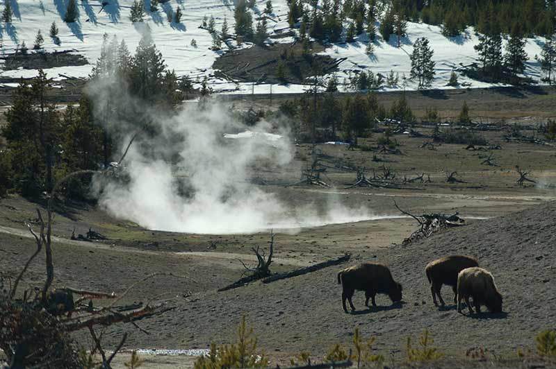 Yellowstone geyser and bison