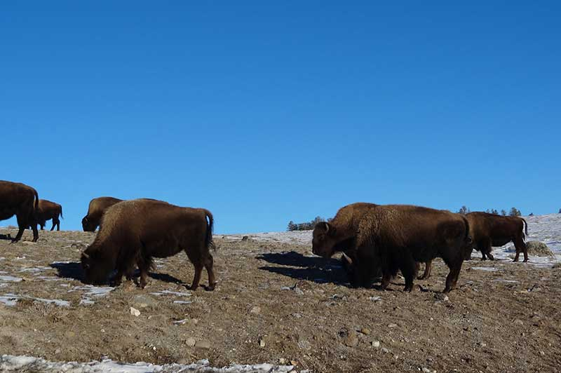Bison under the blue sky in Yellowstone